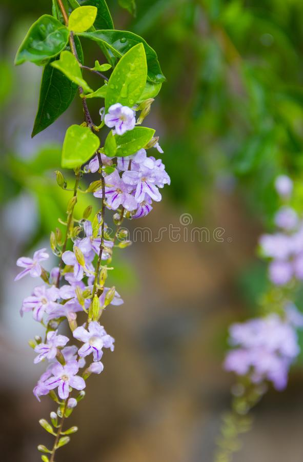 Sky flower or Golden dew drop White and purple flowers blooming in the garden with drops of water on the flowers and leaves. stock images