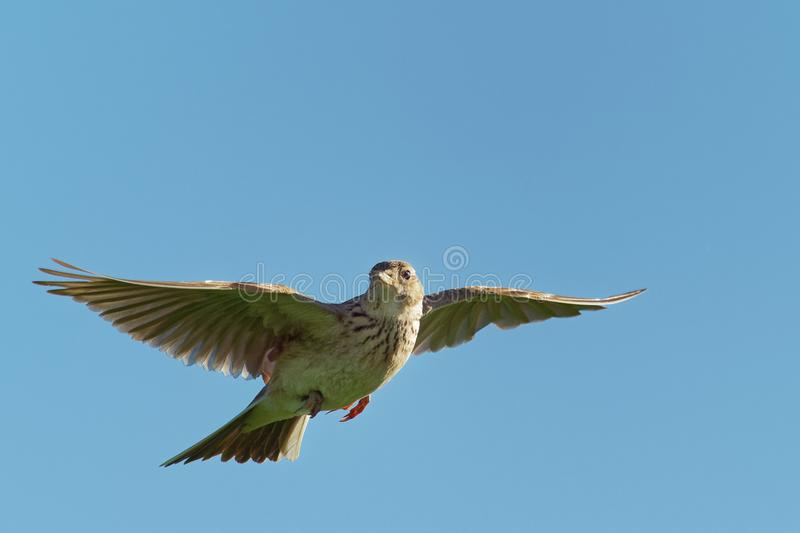 Sky Lark Alauda arvensis flying over the field with brown and blue backgrond. Brown bird captured in flight royalty free stock image