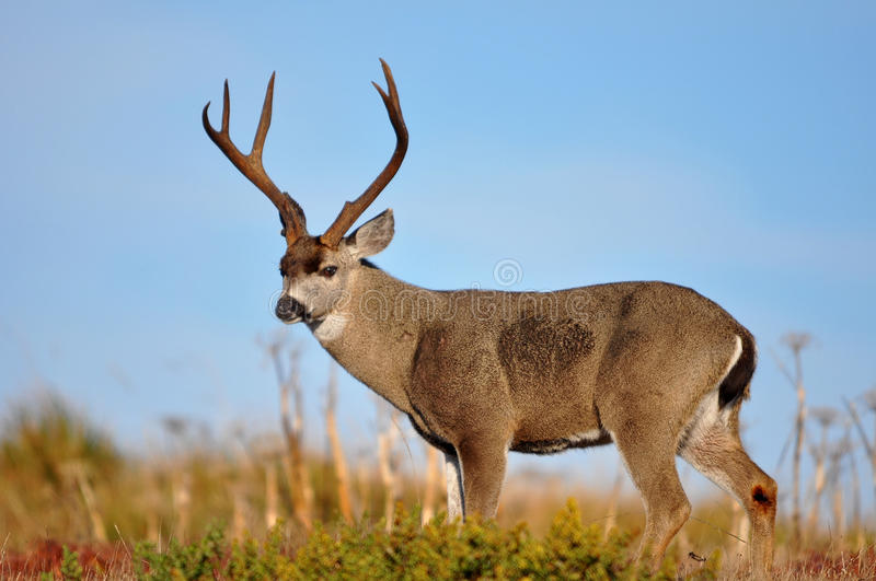 Download Sky Lined Buck Royalty Free Stock Photo - Image: 16803645