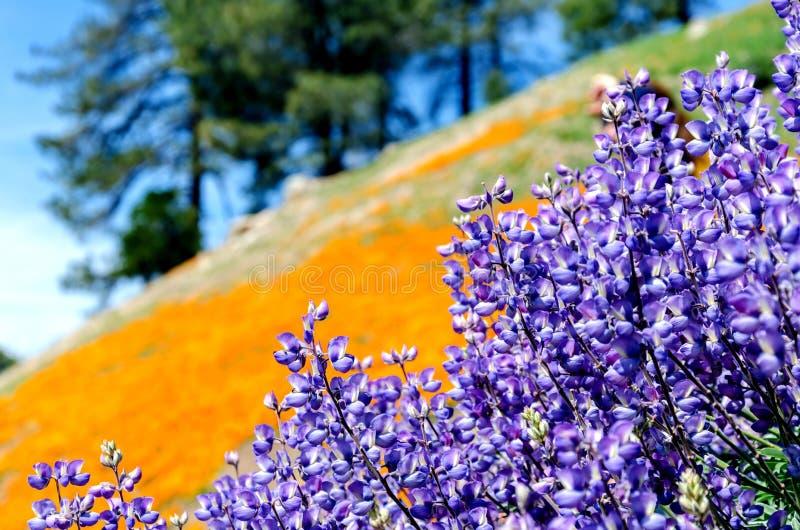Sky lupine flowers lupinus nanus and California Golden Poppy f stock images