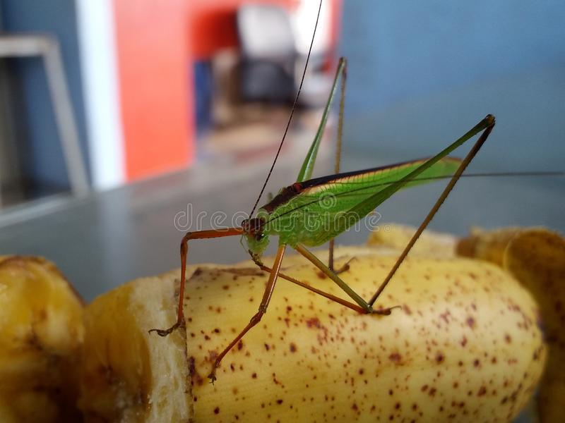 sky macro, Insect, bug, grasshopper, amantis, mantis, background, green, thailand, stock photography