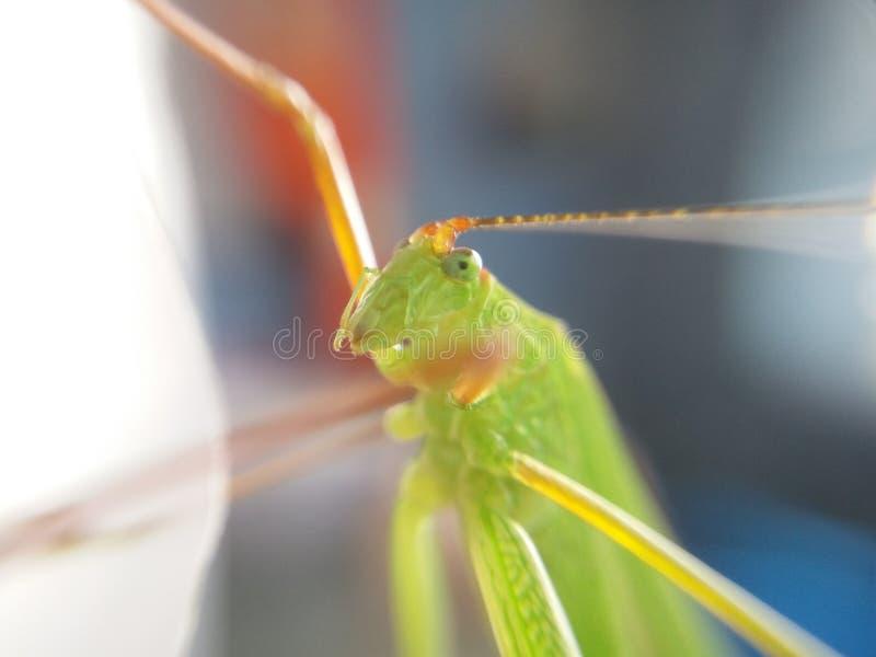sky macro, Insect, bug, grasshopper, amantis, mantis, background, green, thailand, royalty free stock image