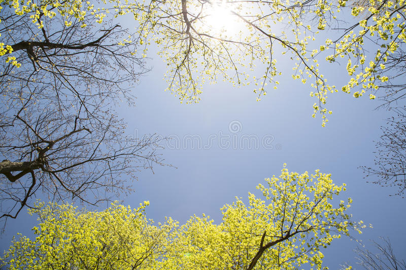 Sky and Maple Trees. Blue spring sky and Maple Trees in Mount Royal Park, Montreal, Canada stock photos