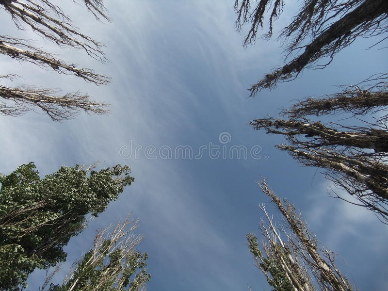 The sky over the poplars royalty free stock image
