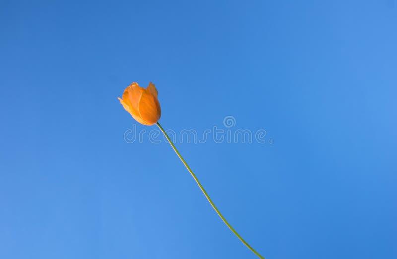 Sky Poppy Stock Images