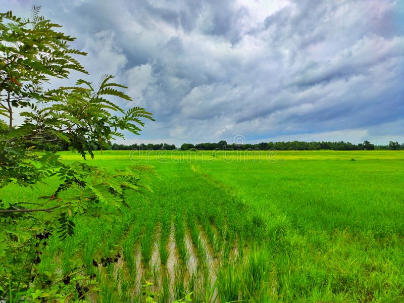 Sky and rice fields that are growing, Wallpaper, Background. stock photos