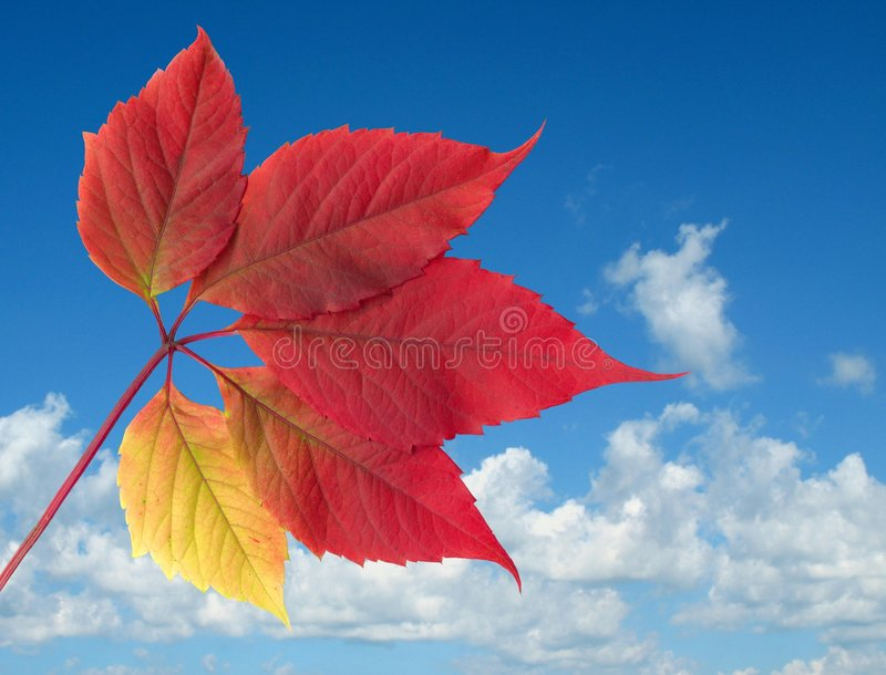 Sky and vine leaf royalty free stock images