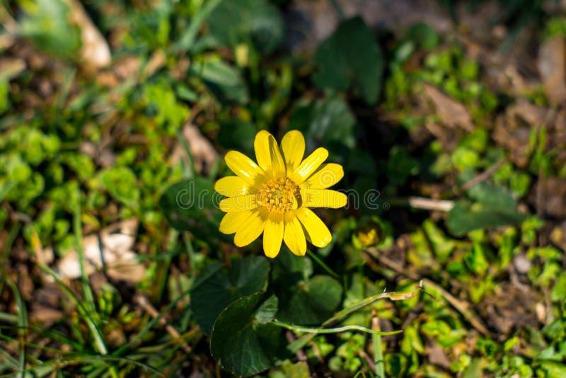 Skydd av jordbegreppet - ett gult blommasmörblommaslut upp i busksnår av grönt gräs, solig sommardag som är selektiv royaltyfri fotografi