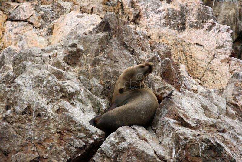 Skyddsremsa på Islas Ballestas, Paracas nationalpark i Peru royaltyfri bild