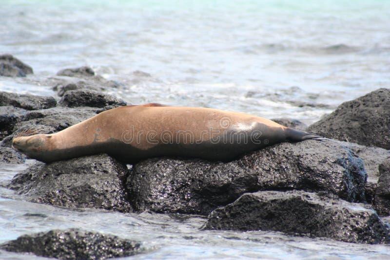 SkyddsremsaGalapagos öar royaltyfria bilder