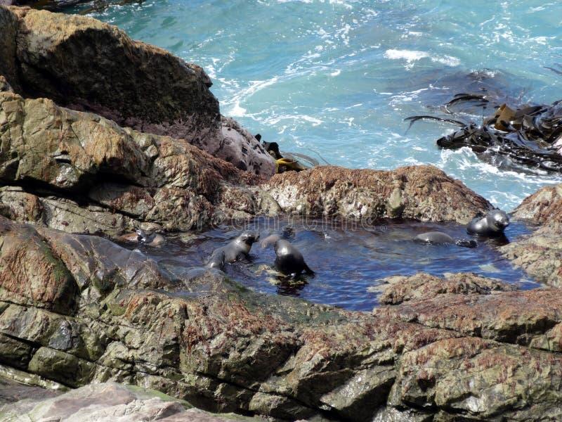 Skyddsremsavalper som badar, Ohau punkt, Nya Zeeland royaltyfri foto