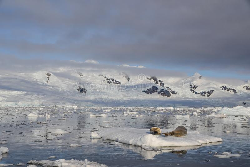 Skyddsremsor som ligger på isberget fotografering för bildbyråer