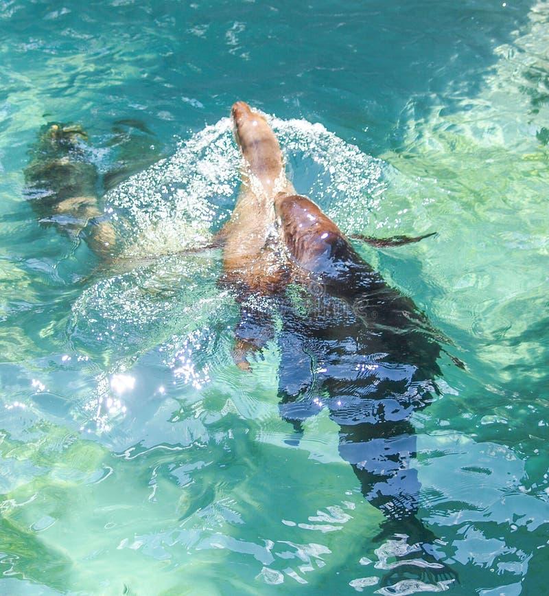Skyddsremsor som simmar i en pöl arkivfoto