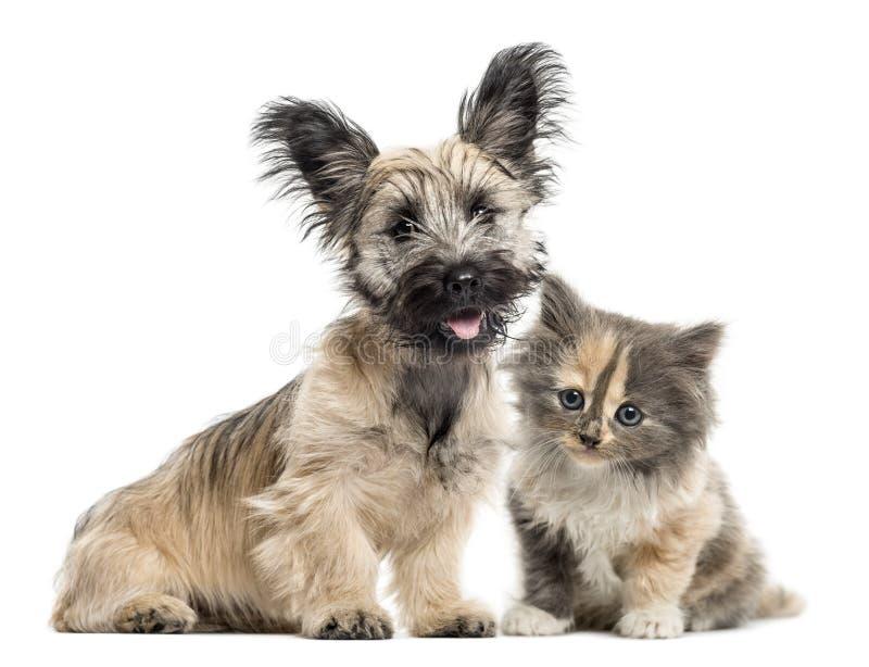 Skye Terrier i europejczyka Shorthair stawiać czoło odizolowywam na bielu fotografia royalty free