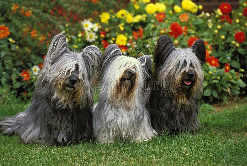 SKYE TERRIER. ADULTS SITTING WITH FLOWERS royalty free stock image
