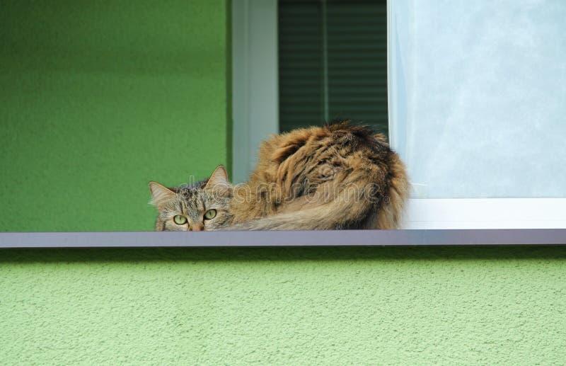 Skygga katten royaltyfri foto