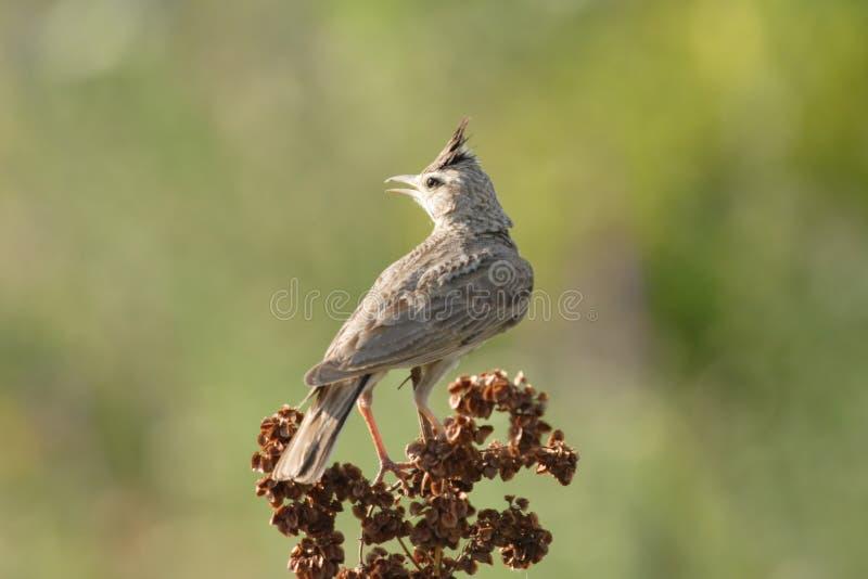 Skylark Bird royalty free stock image