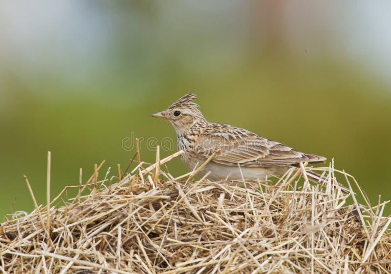 Skylark on a dry grass royalty free stock photos