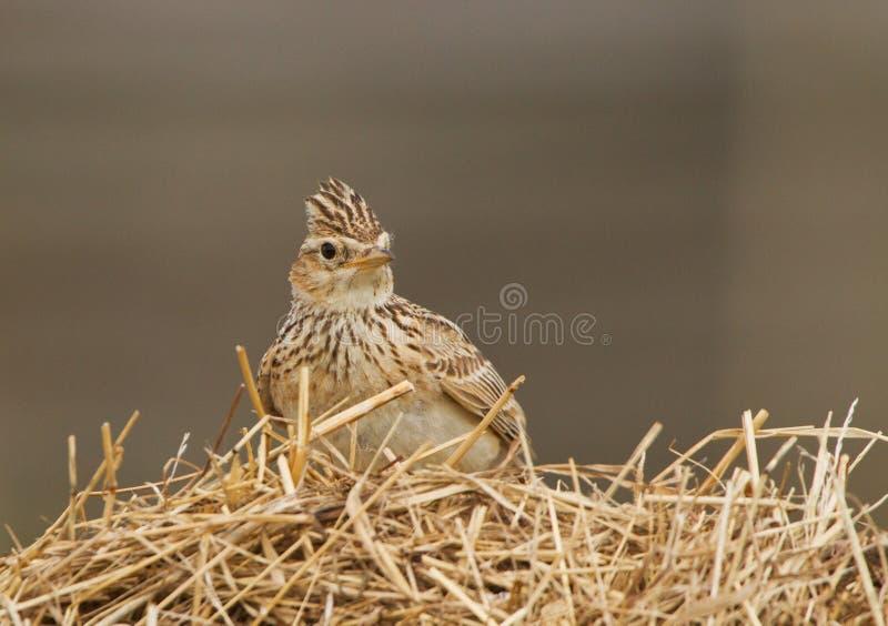 Skylark on a dry grass stock photo