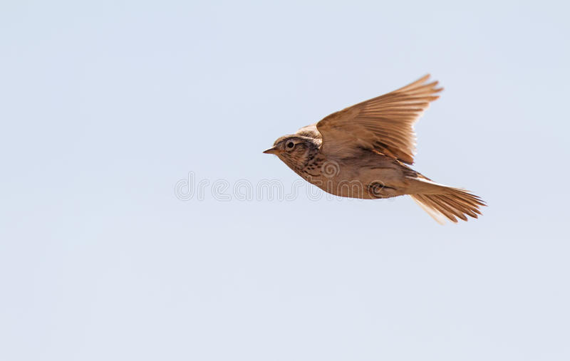 Skylark over the meadow. A skylark is hovering in Lithuania stock photography