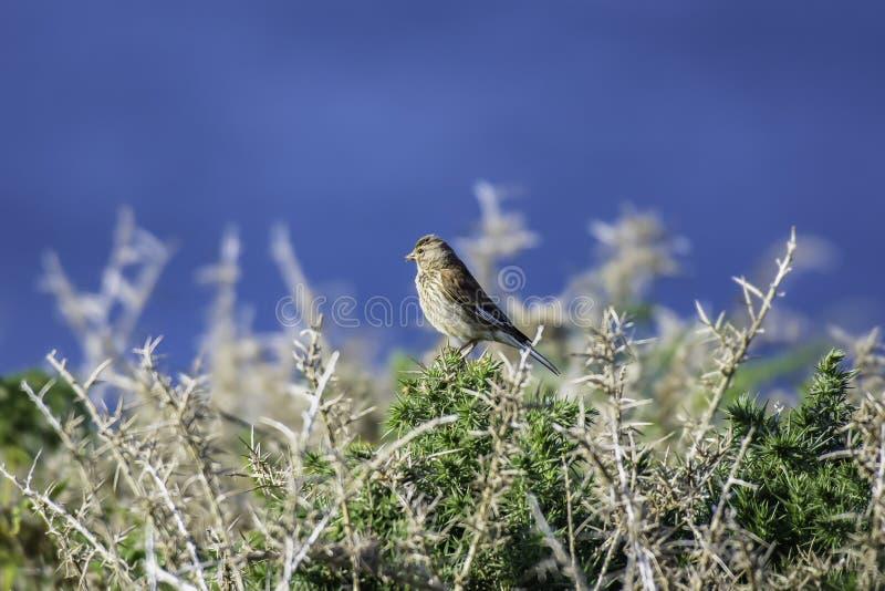Skylark perching på gorse twig fotografering för bildbyråer
