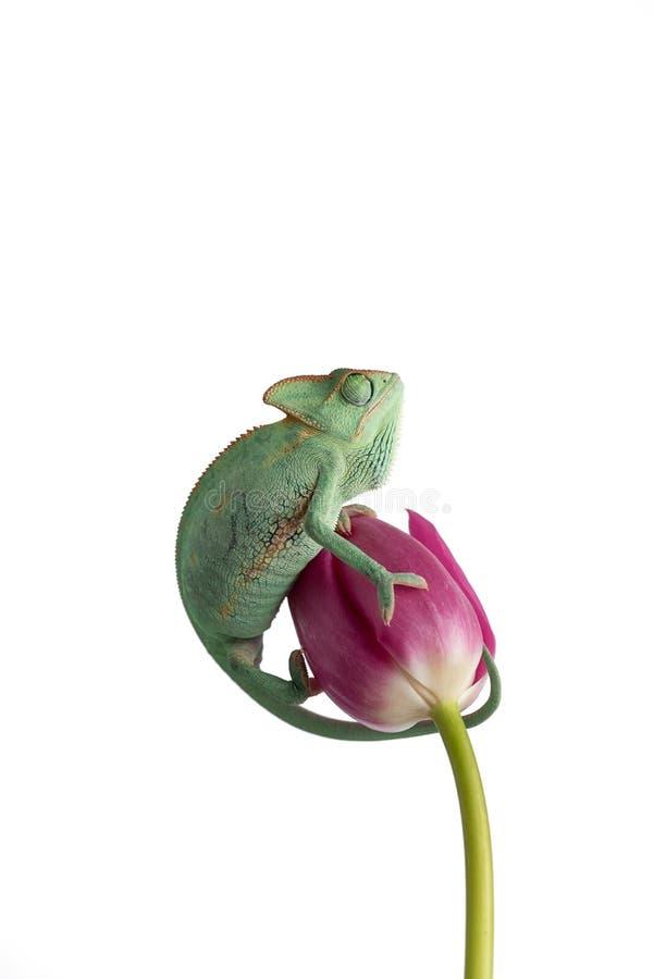 Skyld kameleont på en blomma som isoleras på vit bakgrund royaltyfria bilder