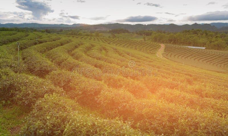 Skyline alta da montanha da plantação de chá verde do monte foto de stock