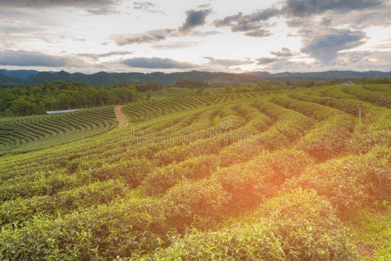 Skyline alta da plantação de chá verde do monte fotografia de stock royalty free