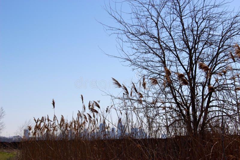Cleveland Skyline through Phragmite Reeds royalty free stock photography