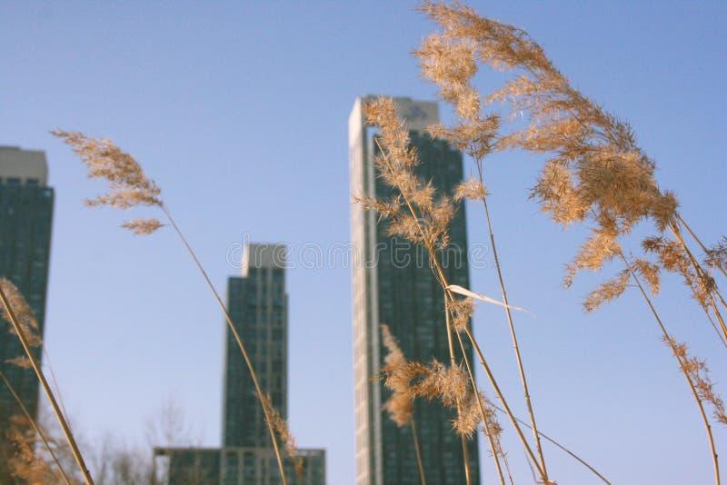 Skyskrapor och torra sädesslag royaltyfri bild