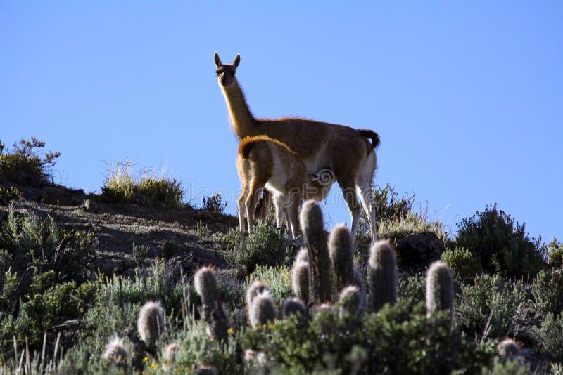 Släcka guanacoen royaltyfria foton
