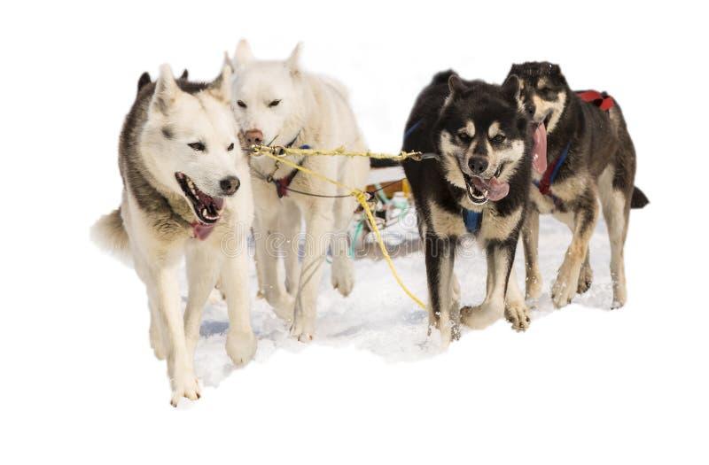 Slädehundkapplöpning Hasky i sele på vit arkivbilder