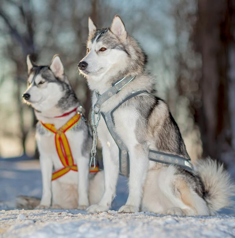 Slädehundkapplöpning, Huskies, på snön arkivbild
