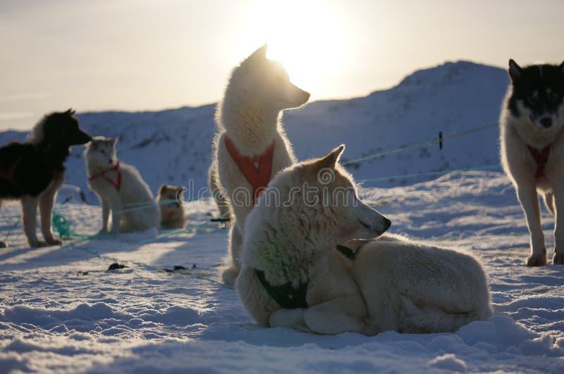 Slädehundkapplöpning i Grönland arkivbild