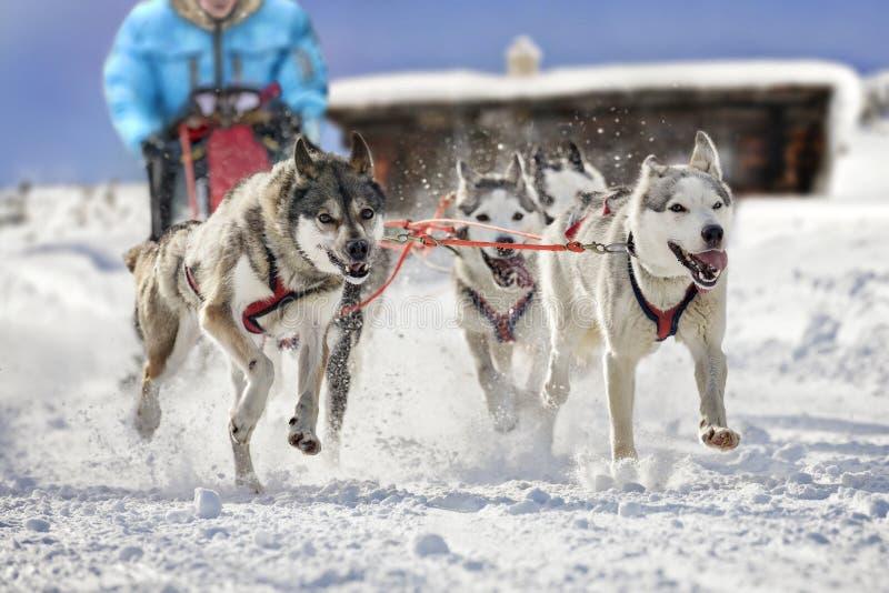 Slädehundkapplöpning som drar musher royaltyfria foton