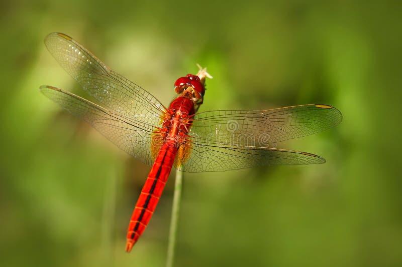 Slända från Sri Lanka Orientalisk scharlakansrött, Crocothemis servilia som sitter på de gröna sidorna Härlig drakefluga i nature royaltyfri fotografi