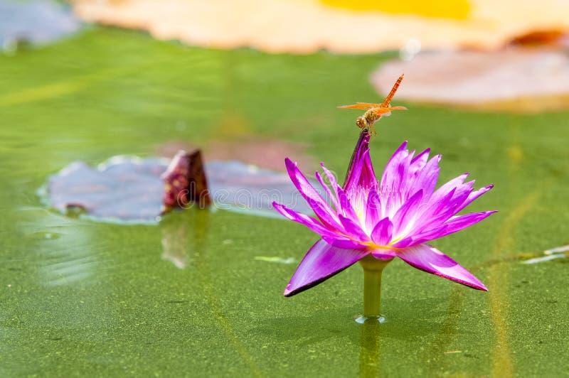 Slända och Lotus royaltyfria bilder