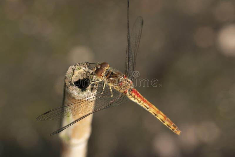 Slända Odonata Ett kryp med bräckliga vingar royaltyfri bild