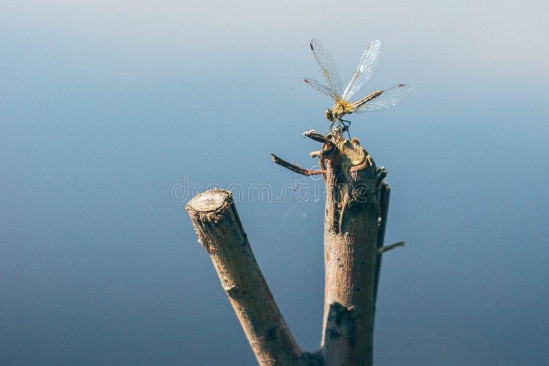 Slända på blått vatten royaltyfri fotografi