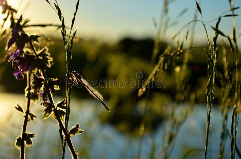 Slända på gräset fotografering för bildbyråer