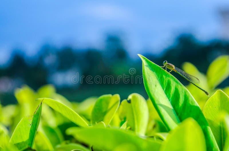 Slända som fångar på ett grönt blad royaltyfri bild