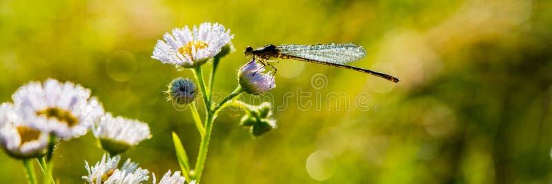 Sländan sitter på en blomma som täckas med droppar av dagg i en äng Baner för design royaltyfri fotografi