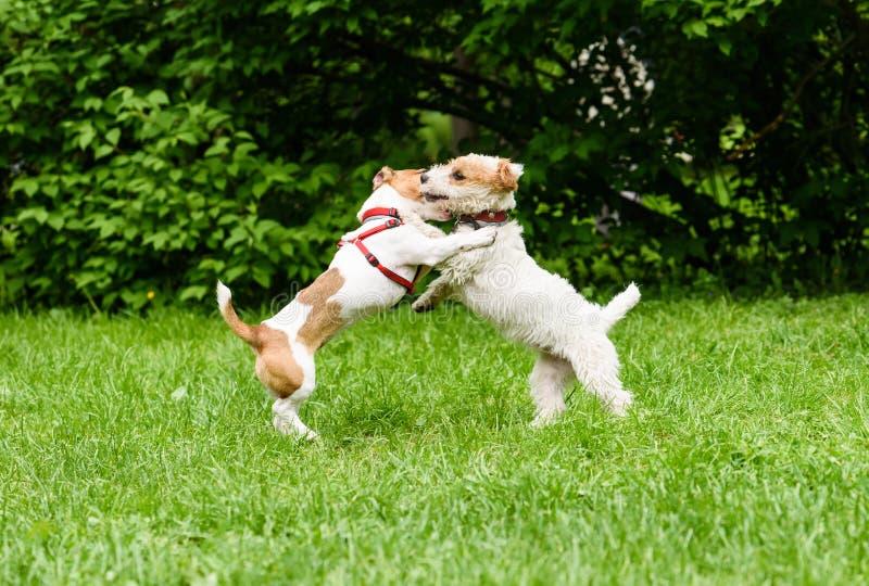 Släta laget vs det brutna laget Rolig Jack Russell Terriers lek för två arkivbilder