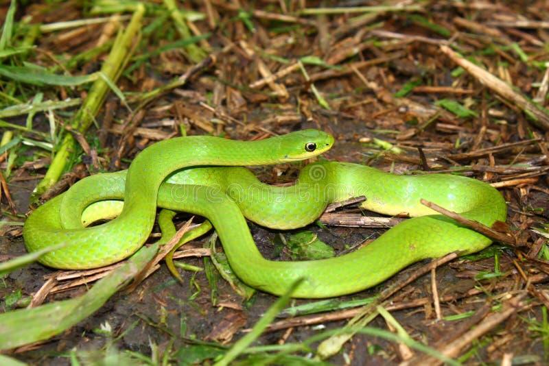 släta ormvernalis för grön opheodrys royaltyfri foto