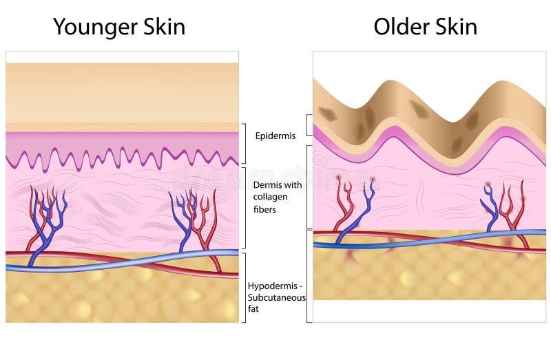 slätt kontra rynkigt för hud royaltyfri illustrationer