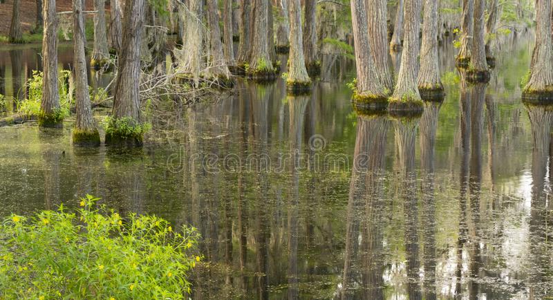 Slätt vatten reflekterar cypressträd i träsket Marsh Lake arkivbilder