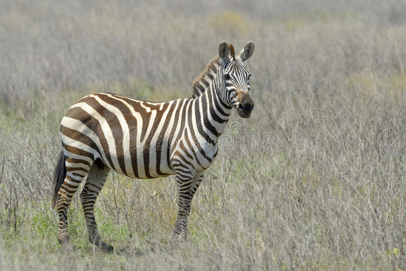 Slätts sebra (Equusquagga) på savannet royaltyfri fotografi