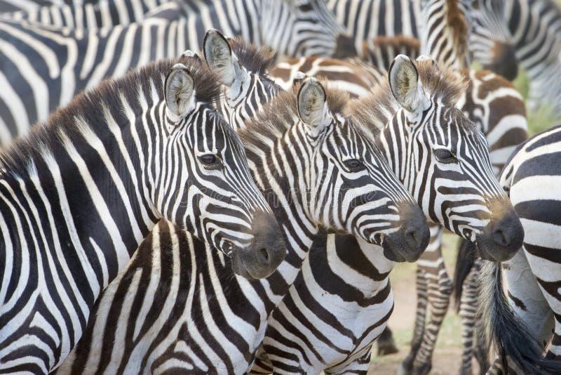 Slätts sebra (Equusquagga) på savannet arkivbilder