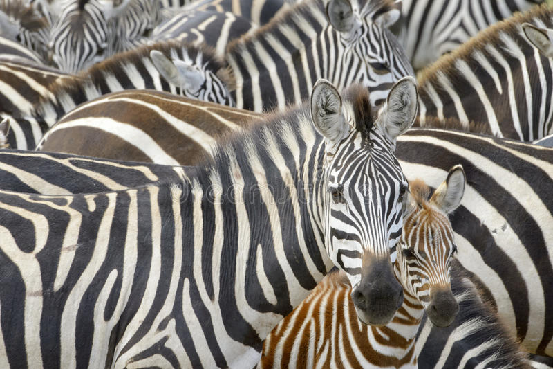 Slätts sebra (Equusquagga) på savannet arkivfoton