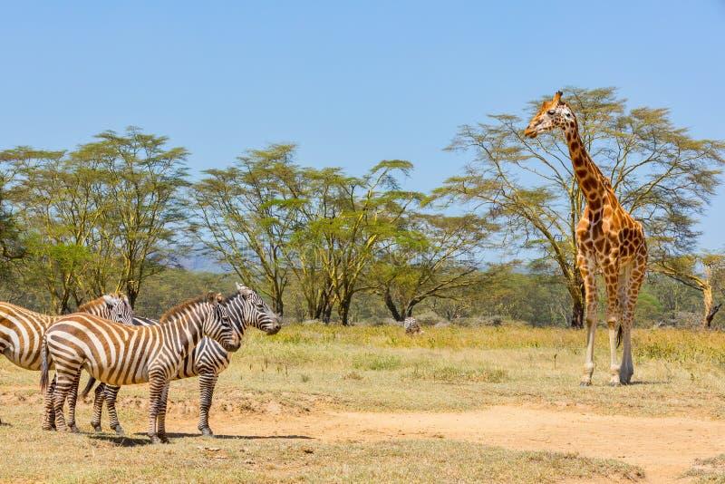 Slättsebra och Rothschild giraff, sjö Nakuru, Kenya royaltyfri foto
